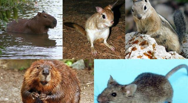 Naturaleza Pregunta Trivia: ¿Cuál de los siguientes animales no es un roedor?