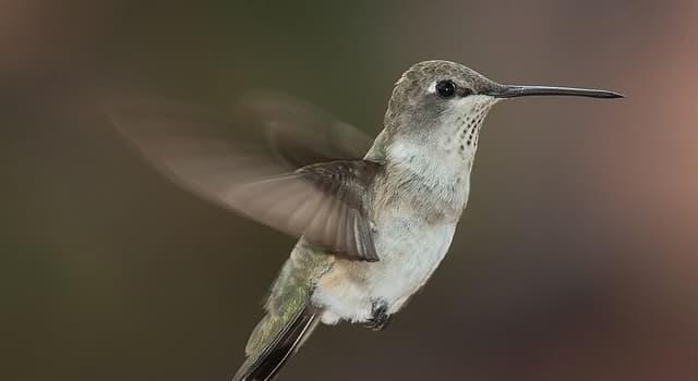 Naturaleza Pregunta Trivia: ¿Cuál es el pájaro más pequeño del mundo?