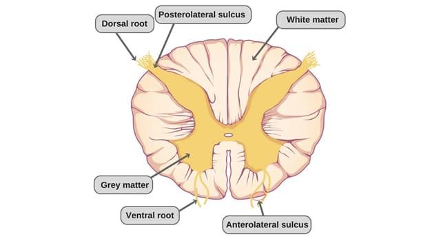 nauka Pytanie-Ciekawostka: W której części ciała ludzkiego leży rdzeń kręgowy?