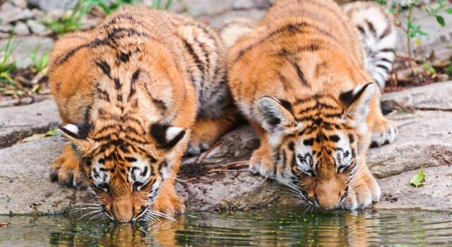 natura Pytanie-Ciekawostka: Jaki kolor oczu mają zwykle dorosłe osobniki tygrysów?
