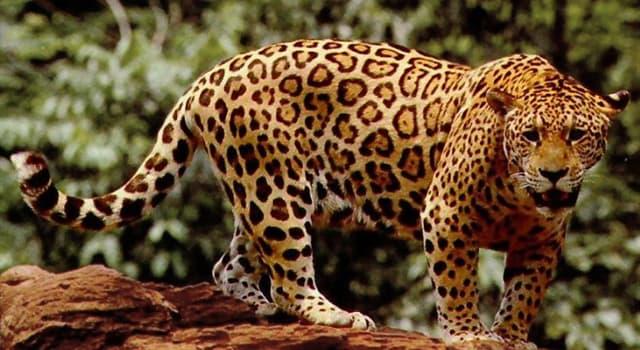 Natur Wissensfrage: Wie lautet die andere Bezeichnung für schwarzen Leopard oder Jaguar?