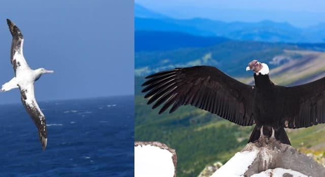 Naturaleza Pregunta Trivia: ¿Cuál es el ave voladora de mayor envergadura de alas extendidas?