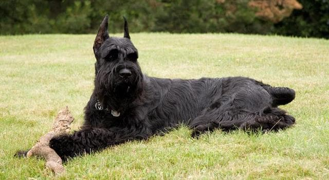 Naturaleza Pregunta Trivia: ¿Cuál es el origen de la raza de perro Schnauzer?