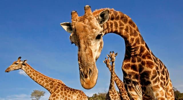 Naturaleza Pregunta Trivia: ¿Cuántas vértebras cervicales tiene una jirafa?
