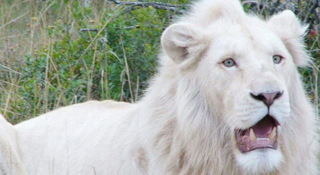 Naturaleza Pregunta Trivia: ¿De dónde provienen los leones blancos existentes en el mundo?