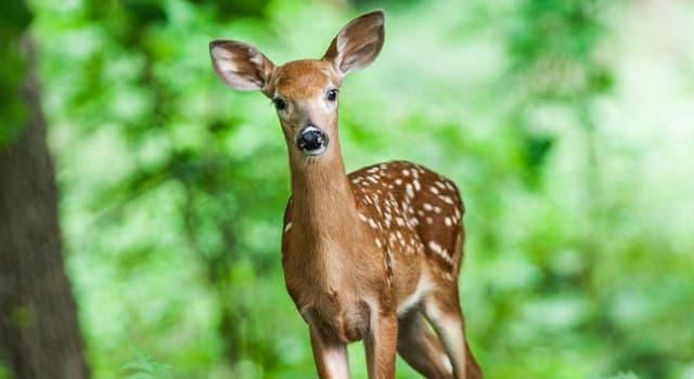 natura Pytanie-Ciekawostka: Jaki ssak z rodziny jeleniowatych, różniący się od innych swoim porożem, jest największy?