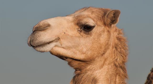 natura Pytanie-Ciekawostka: Ile garbów ma arabski wielbłąd?
