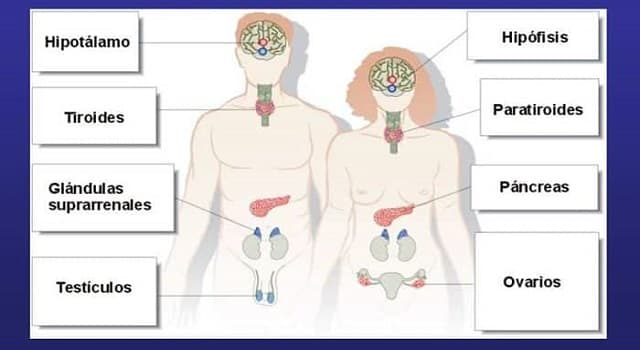 Сiencia Pregunta Trivia: ¿Qué glándula secreta la hormona adrenalina?