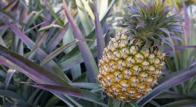 natura Pytanie-Ciekawostka: Skąd pochodzi ananas?