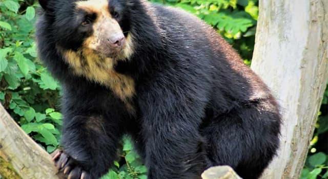 Naturaleza Pregunta Trivia: ¿Cómo se llama la única especie de oso que vive en Sudamérica?
