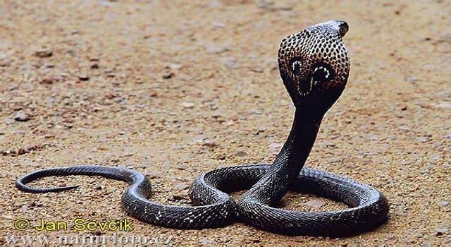 Naturaleza Pregunta Trivia: ¿Cuál es el nombre científico de esta cobra?