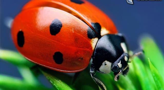 """Naturaleza Pregunta Trivia: ¿Cuál es el nombre científico del insecto que aparece en la foto, a veces llamado """"mariquita"""" o """"vaquita de San Antonio""""?"""