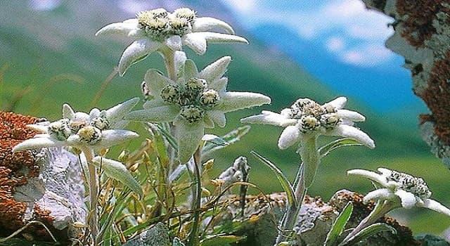 Naturaleza Pregunta Trivia: ¿Cuál es el nombre común de la flor Leontopodium alpinum?