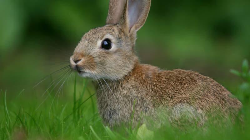 природа Запитання-цікавинка: Для чого зайцеві його великі вуха?