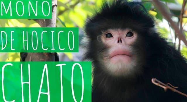 Naturaleza Pregunta Trivia: ¿En cuál de estos países habita al mono de hocico chato?