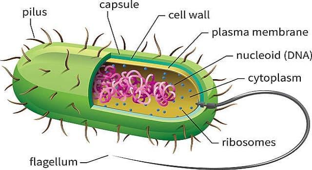 Сiencia Pregunta Trivia: ¿Qué es una célula procariota?
