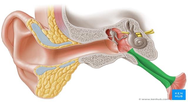 Сiencia Pregunta Trivia: ¿Qué regiones anatómicas se comunican a través de la tuba auditiva?