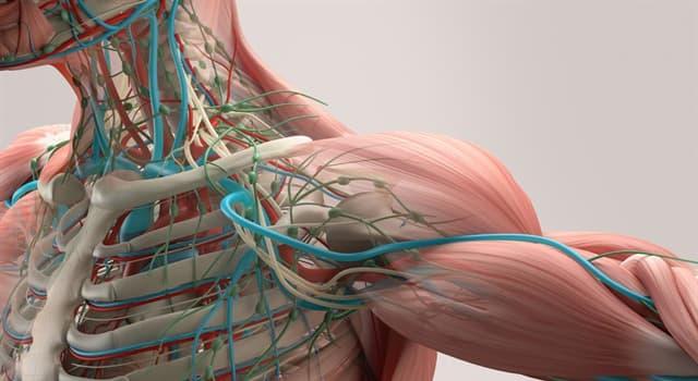 Сiencia Pregunta Trivia: ¿En qué parte del cuerpo humano se encuentra la axila?