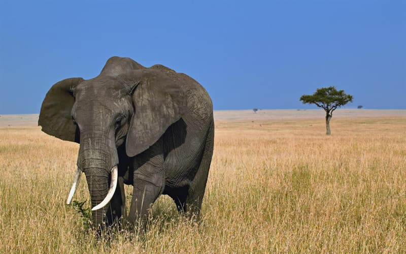 Географія Запитання-цікавинка: Навіщо африканським слонам великі вуха?