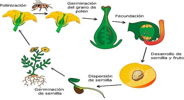Сiencia Pregunta Trivia: ¿Cómo se llaman las plantas que además de tener flores y frutos también cuentan la  presencia de óvulos, el ovario y una compleja polinización?