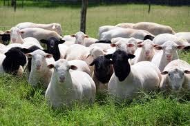 Naturaleza Pregunta Trivia: ¿Cuál de las siguientes razas no forma parte de la familia de los ovinos?