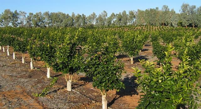 Naturaleza Pregunta Trivia: ¿Cuál es la fruta denominada Citrus máxima?