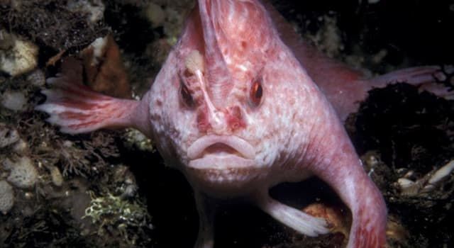 Naturaleza Pregunta Trivia: ¿Dónde habita el pez rosado con manos?
