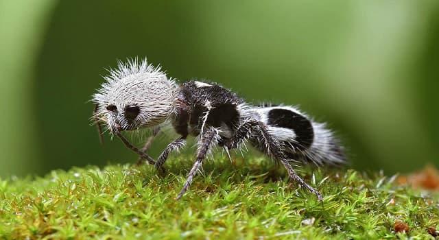 Naturaleza Pregunta Trivia: ¿En qué país habita la hormiga panda?