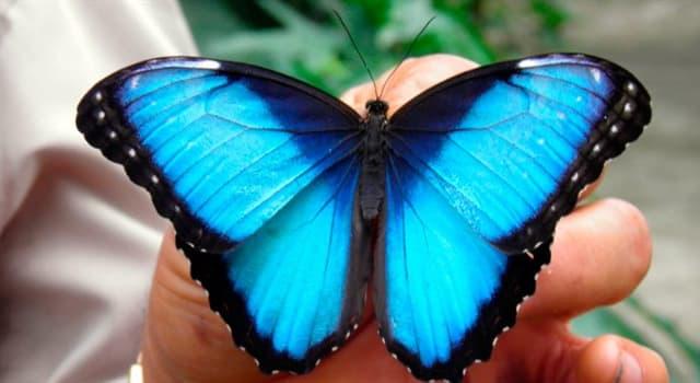 Naturaleza Pregunta Trivia: ¿Dónde habita la Mariposa Azul?
