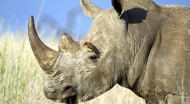 природа Запитання-цікавинка: Скільки пальців у носорога на кожній нозі?