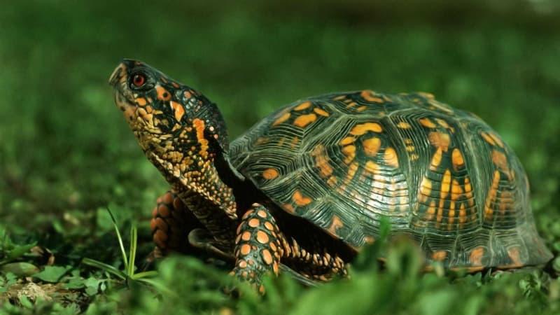 природа Запитання-цікавинка: Яка черепаха мешкає на Галапагоських островах?