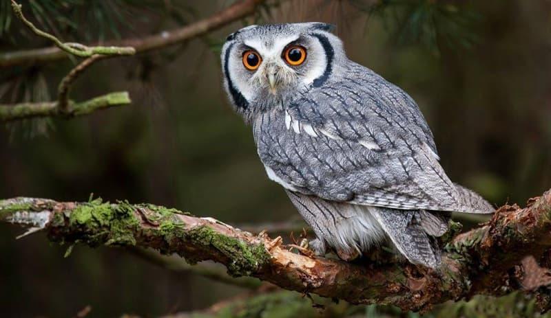 природа Запитання-цікавинка: Яка з цих птахів не є совою?