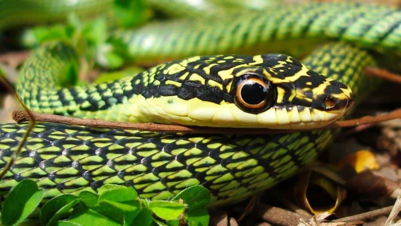 природа Запитання-цікавинка: Яка з цих змій не є отруйною?