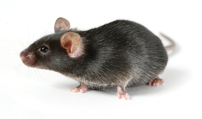 природа Запитання-цікавинка: Які миші живуть в тундрі?
