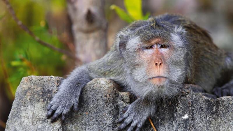природа Запитання-цікавинка: Мавпи якого людиноподібного вигляду є найбільшими в світі?