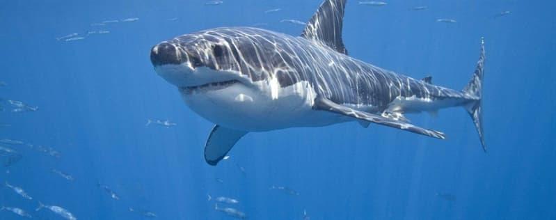 природа Запитання-цікавинка: Чи правда, що акули намагаються уникати зустрічі з дельфінами?