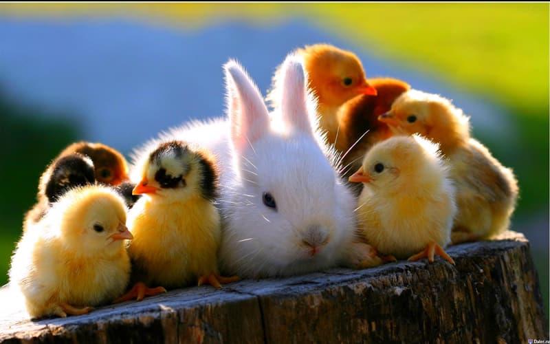 природа Запитання-цікавинка: Скільки днів курка висиджує своє яйце?