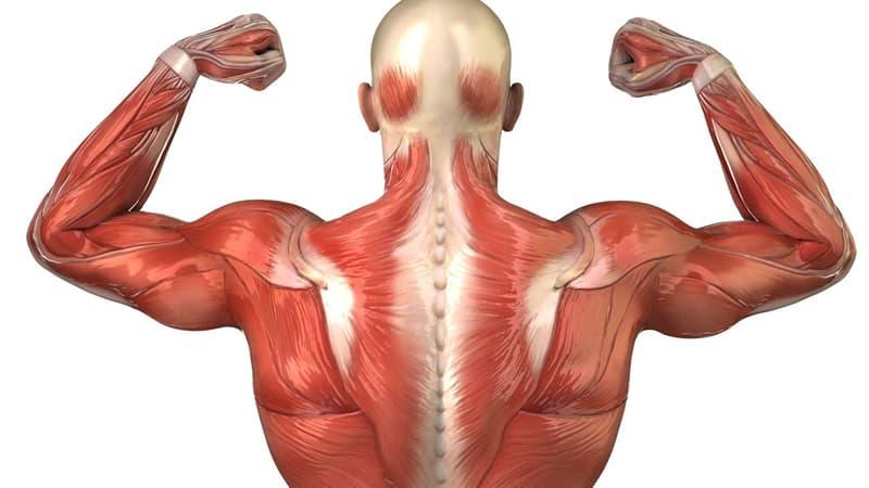 Наука Запитання-цікавинка: Скільки м'язів в тілі людини?