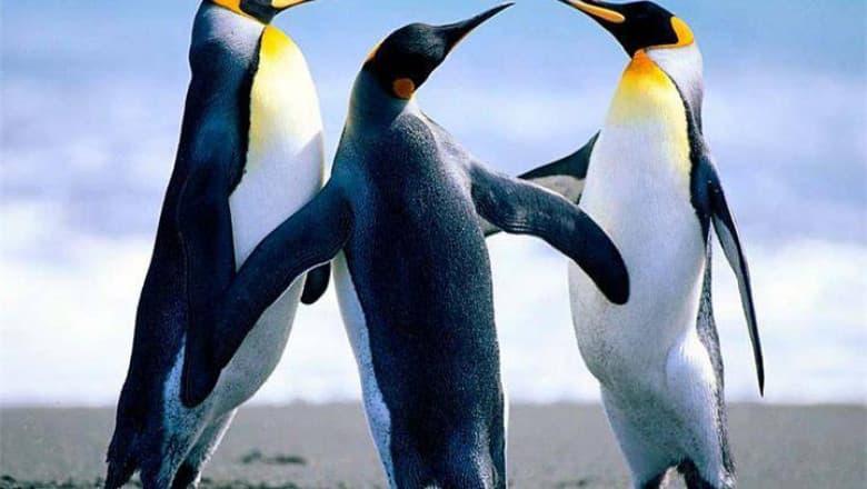 природа Запитання-цікавинка: Скільки тижнів може не харчуватися імператорський пінгвін під час висиджування яйця?
