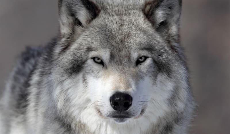 Natur Wissensfrage: Was ist die Besonderheit der arabischen Wölfe?