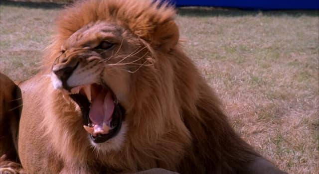 Naturaleza Pregunta Trivia: ¿A qué distancia, aproximadamente, se puede escuchar el rugido de un león?