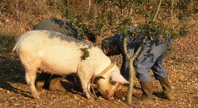 natura Pytanie-Ciekawostka: Które grzyby potrafią znaleźć specjalnie wyszkolone świnie?