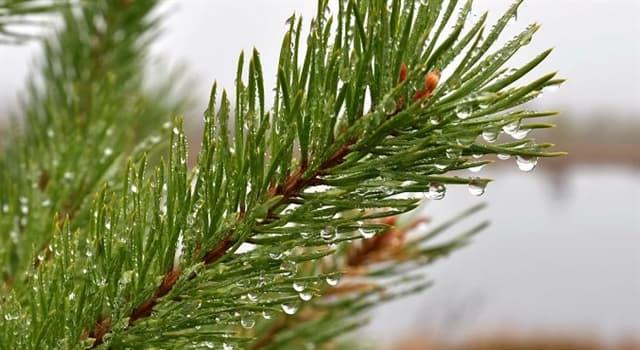 природа Запитання-цікавинка: Яке дерево не є хвойним?