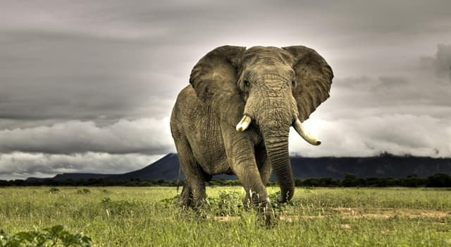 природа Запитання-цікавинка: Яке вимерла тварина вважається прабатьком слона?