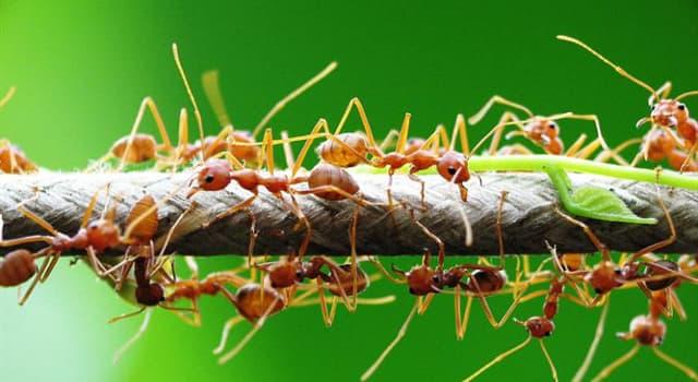 Natur Wissensfrage: Welcher Pilz kann die Ameisen unter seine Kontrolle bringen?