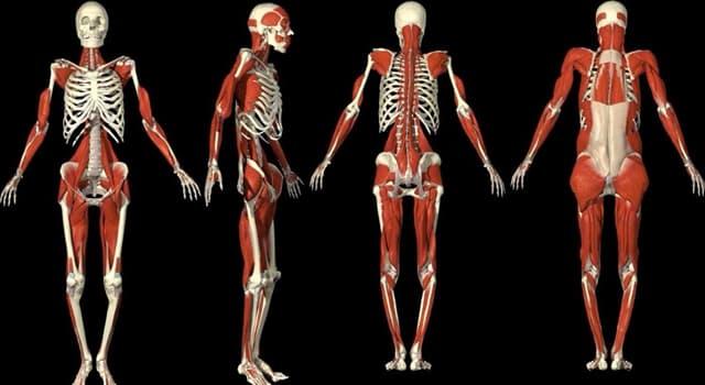 Наука Запитання-цікавинка: Який орган є найбільшим внутрішнім органом людини?