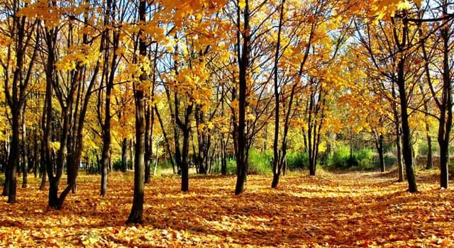 природа Запитання-цікавинка: Листя якого дерева ніколи не змінюють колір і опадає зеленими?