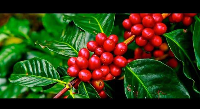 Naturaleza Pregunta Trivia: ¿Qué país es el primer productor y exportador mundial de café?