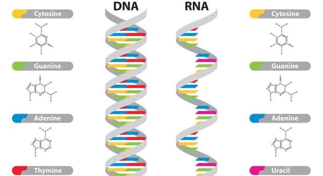 Сiencia Pregunta Trivia: ¿Quién sintetizó el ARN?