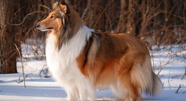 Natur Wissensfrage: Welche Hunderasse ist auf dem Bild dargestellt?